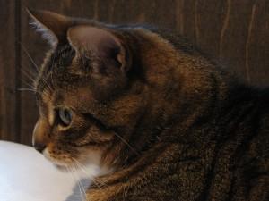 Profile of an Italian American Kitty