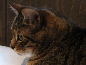 Profile of an Italian American Kitty